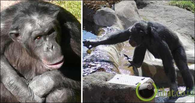 Santino The Chimp (Simpanse)