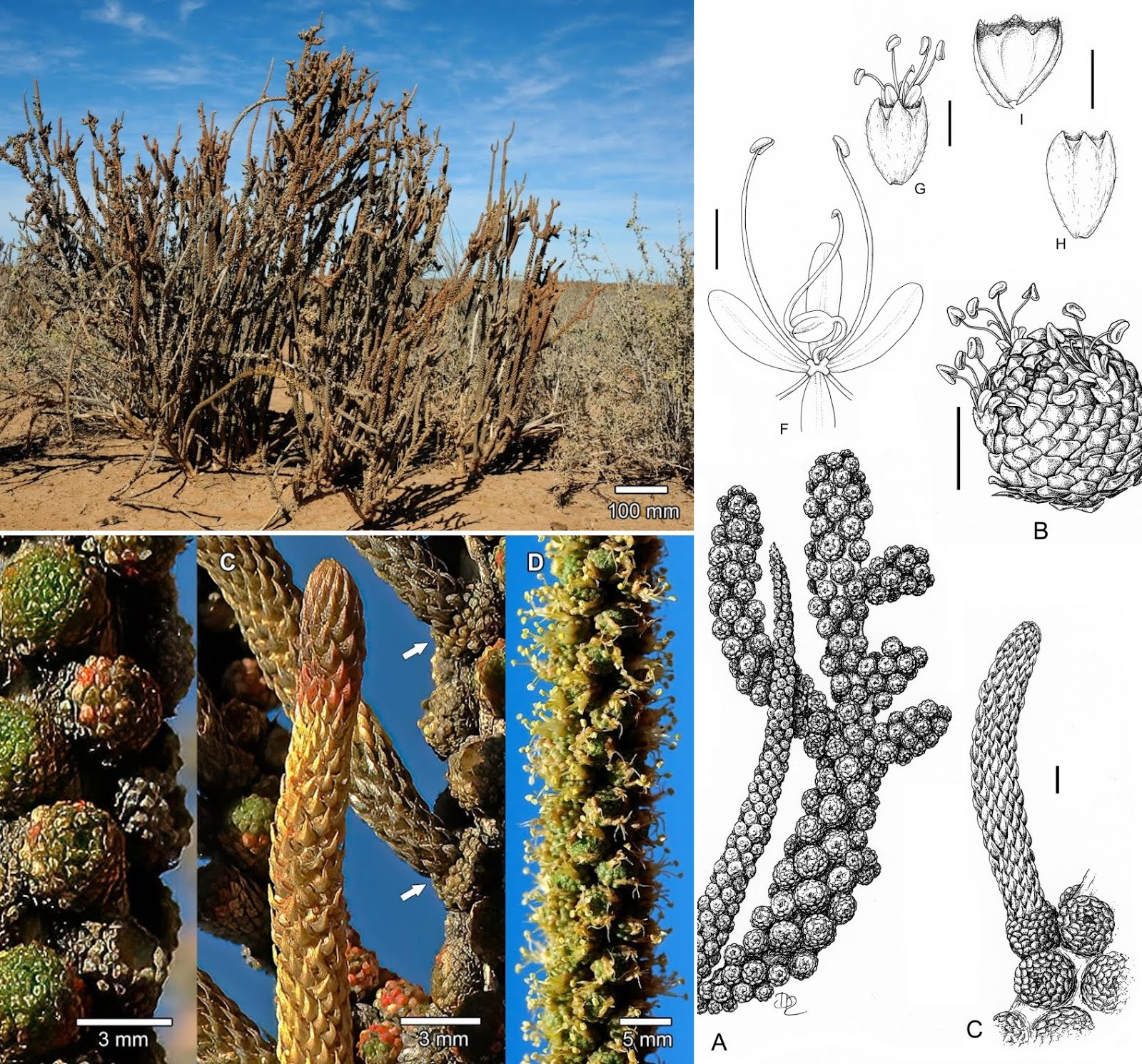 Species New to Science: [Botany • 2020] Tiganophyton karasense • From the  Frying Pan: An Unusual Dwarf Shrub from Namibia Turns Out To Be,  Tiganophytaceae, A New Brassicalean Family
