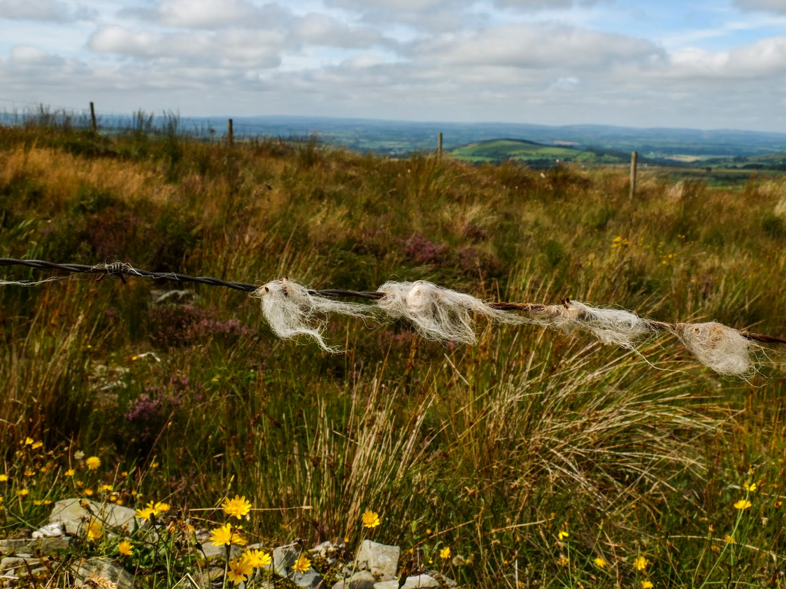 Sheep wool caught on barbed wire in the Boggeragh Mountains, Co.Cork.