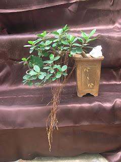 ficus bonsai plant ahmedabad