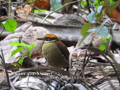 Birding West Bali National Park guided by Made Surya, Javan-banded Pitta photography and video. Info : madesuryawestbali@gmail.com