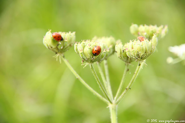 Coccinella septempunctata sur fruits de berce commune (Heracleum sphondylium)