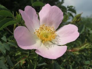 hoa hồng leo tầm xuân rosa canina
