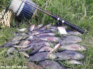 Master Essen Ikan Nila Galatama
