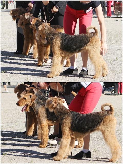 airedalen terrier koirakuvat, (C) Tellun tuulet