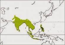 Coppersmith barbet Psilopogon haemacephala