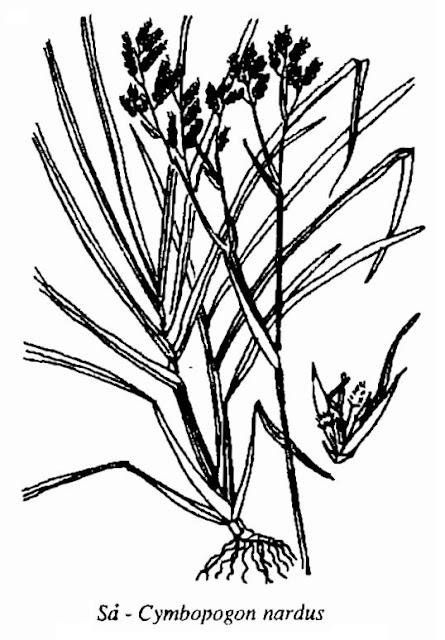 Hình vẽ Cây Sả - Cymbopogon nardus - Nguyên liệu làm thuốc Chữa Cảm Sốt