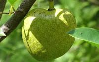 fruit around the world, strange fruit, strange fruit around the world, crazy fruit, crazy fruit around the world, POND APPLE