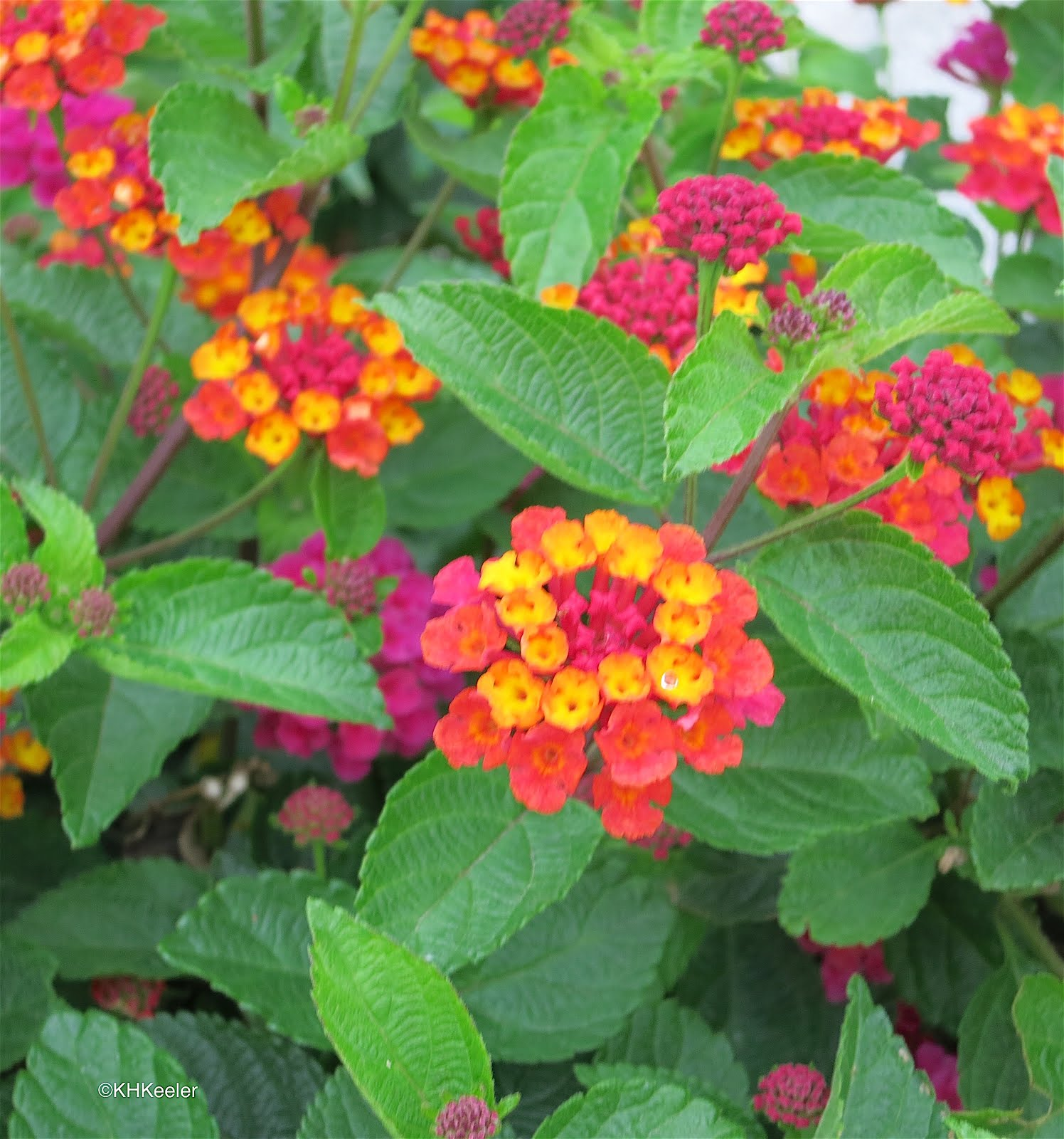 A Wandering Botanist Plant Story Beautiful Invasive Lantana