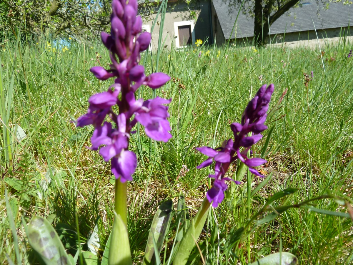 orchidee sauvage 12 lettres