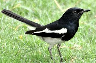 Cara settingan burung kacer poci