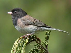 lake arrowhead, birdwatching, dark eyed junco
