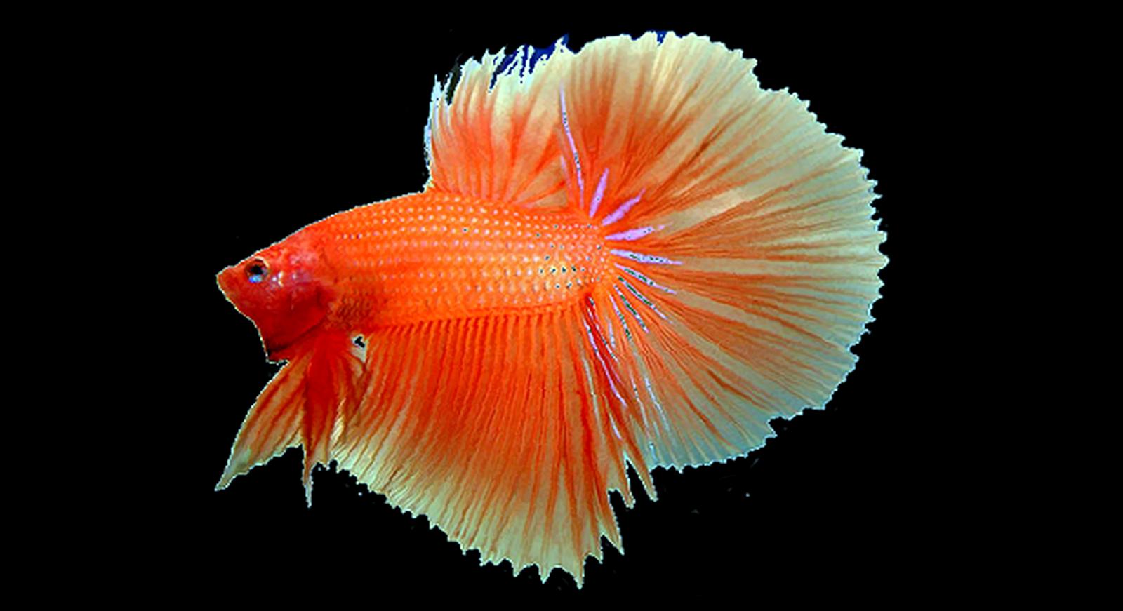 Ikan Hias Air Tawar Paling Terkenal dan Populer di Dunia