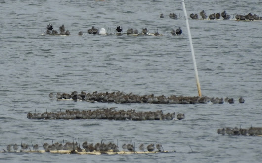 Shorebirds on Floats at High Tide