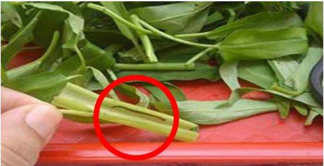 Pernah Dengar Berita Bahaya Makan Kangkung Karena Ada Lintahnya?? Coba deh Baca Artikel Berikut Ini Agar Tahu Kebenarannya!