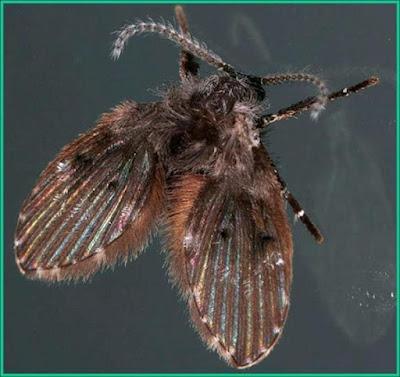 lalat limbah di kamar mandi