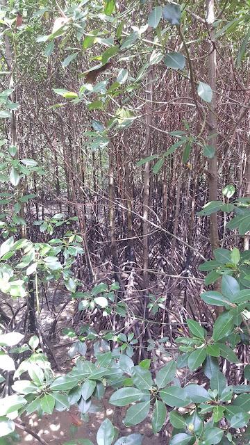 ciri khas tanaman bakau dengan akar yang panjang