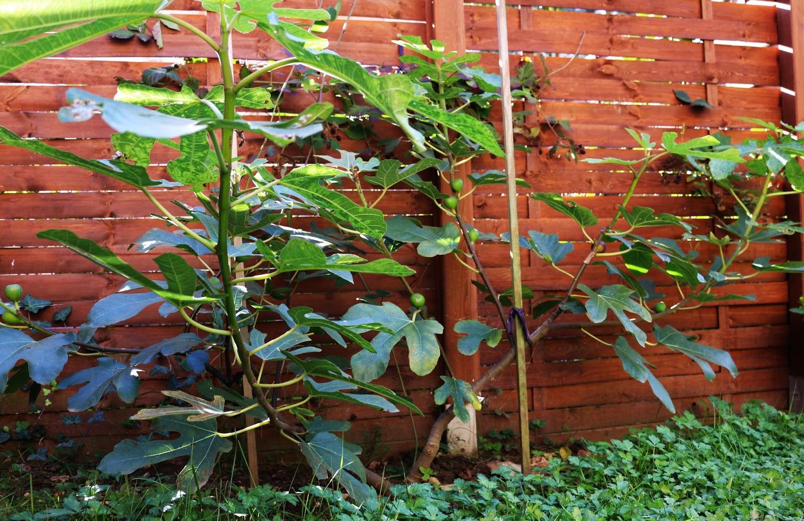 les secrets de la taille et de la greffe des arbres fruitiers bio. Black Bedroom Furniture Sets. Home Design Ideas