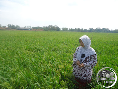 FOTO 2 : Istri admin melihat tanaman padi .. Minggu 14 Agustus 2016