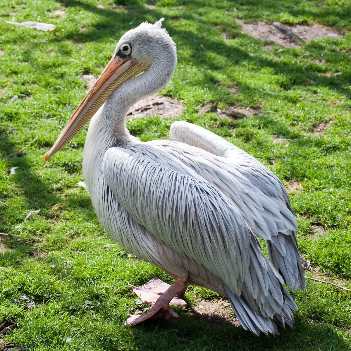 Pelican, Parco Faunistico Cappeller, Nove, Veneto, Italy