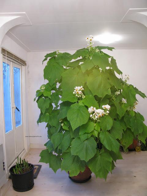 sparmannia africana flore pleno