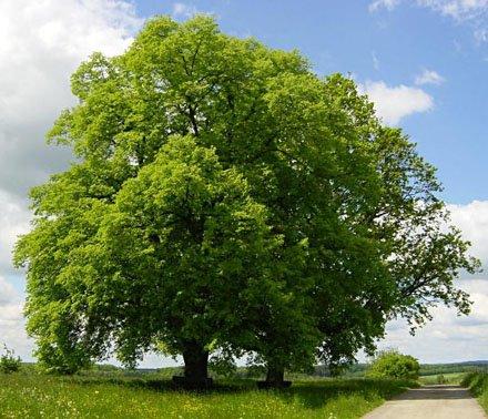 El espiritu de las plantas tilo for Arboles para jardin de hoja perenne