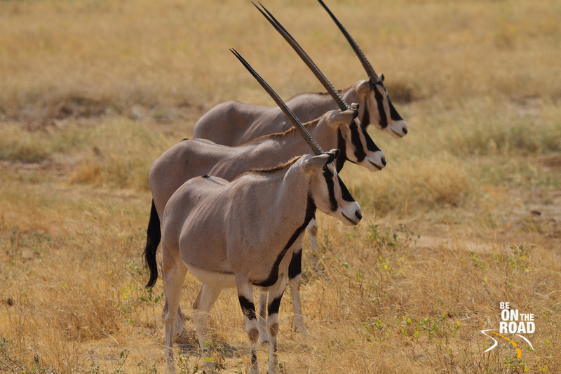 Beisa Oryx horns in perfect symmetry