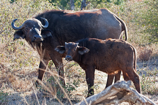 bufali kruger safari sud africa  cucciolo