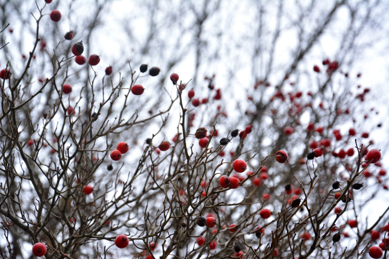 Red berries on dark branches against the sky