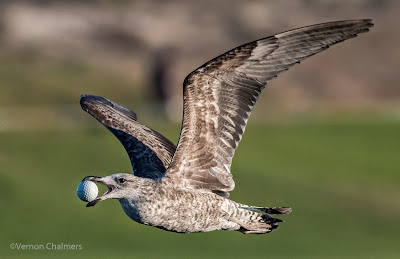 Canon EOS 70D for Birds In Flight - paired with EF 400mm f/5.6L USM Lens