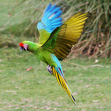 Millitary Macaw