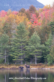 Moosehead Maine Wildlife Watching Moose in Maine Greenville Attractions