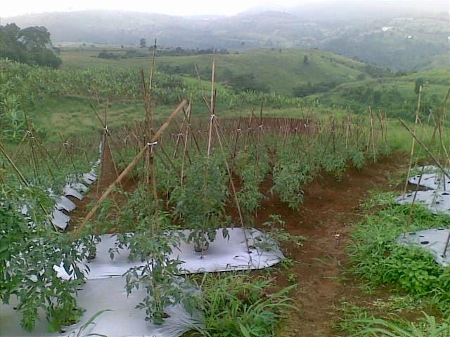 Foto(5206) Jual Tanah Milik | Kebun 23 Ha, Lokasi Puncak jual tanah di puncak