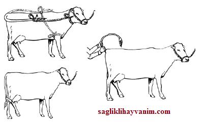 inekler nasıl bağlanılır