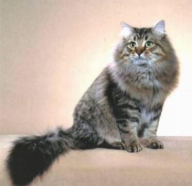 Amici Pelosetti Il Gatto Siberiano Carettere E Fisico