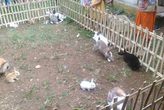 h binatang mamalia dan binatang pemakan rumput atau tumbuhan Kabar Terbaru- MENGENAL CIRI CIRI KELINCI
