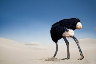 Ostrich with its head in the ground