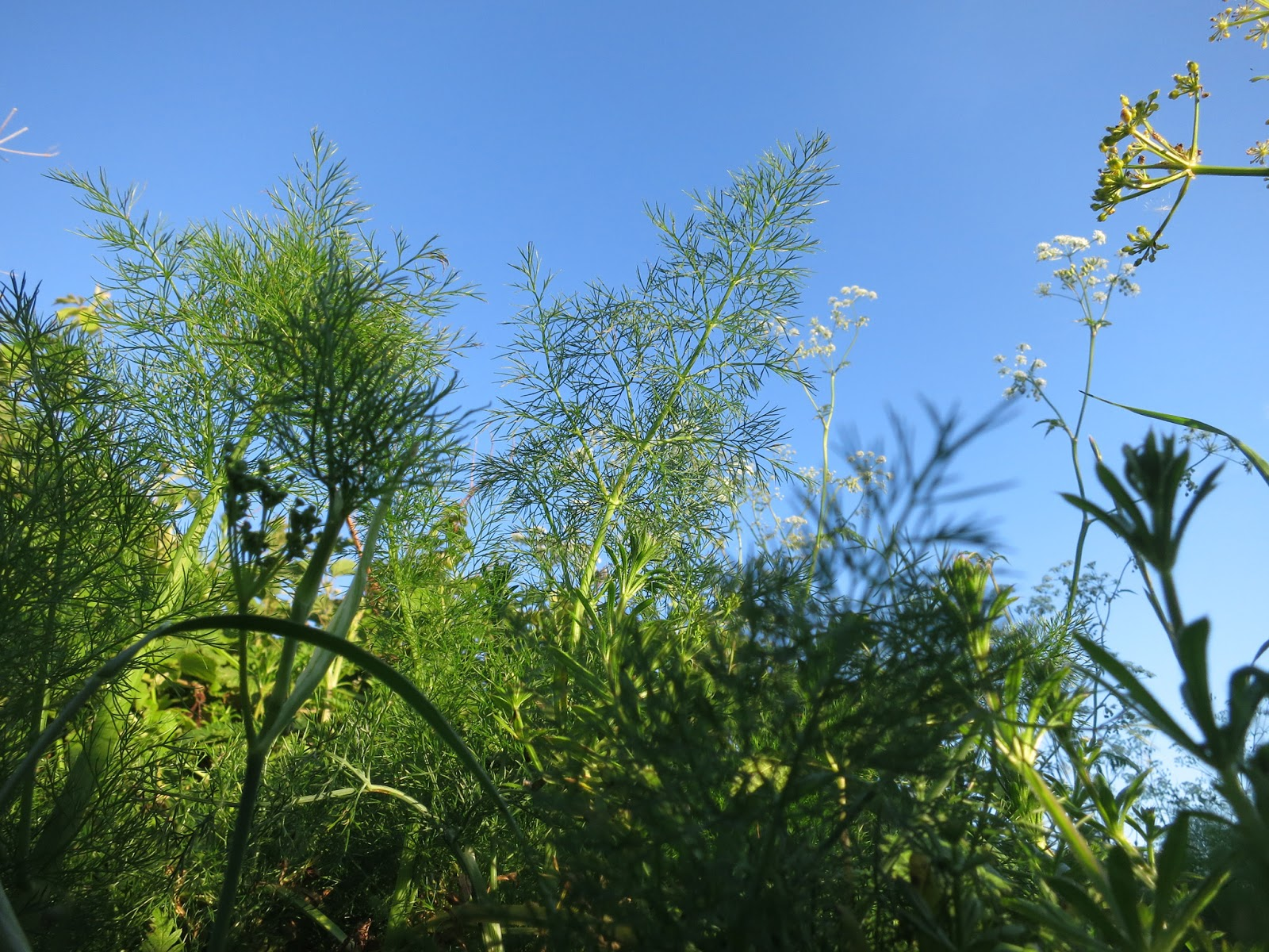 Fennel in hedgerow against blue sky