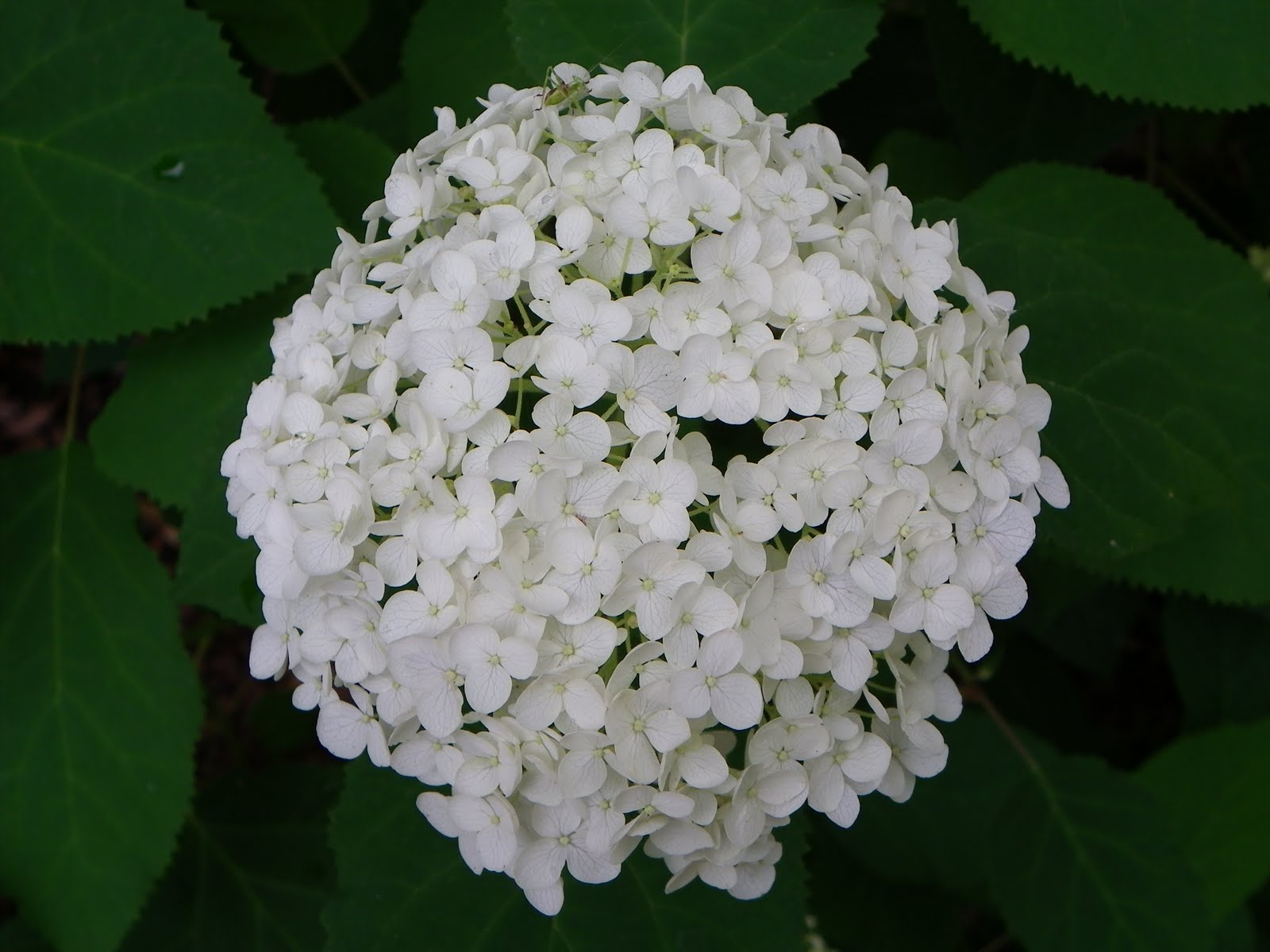 Native In The City: Hydrangea Arborescens 'Annabelle
