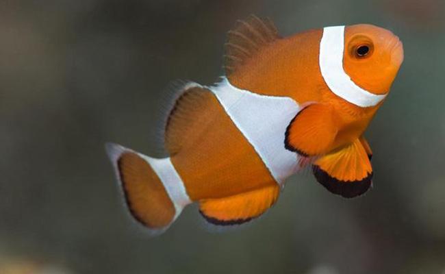 Ikan giru