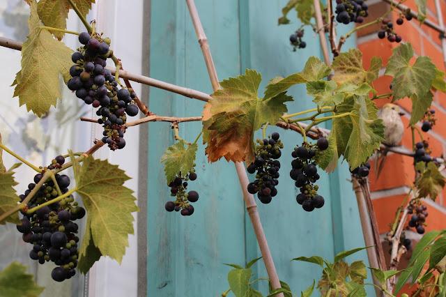 Wein Kübel Balkon Topf