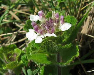 Flores blancas de angelito (Teucrium pyrenaicum)