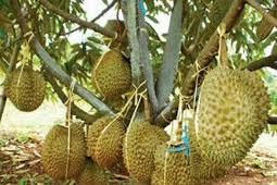 pupuk nasa untuk buah durian