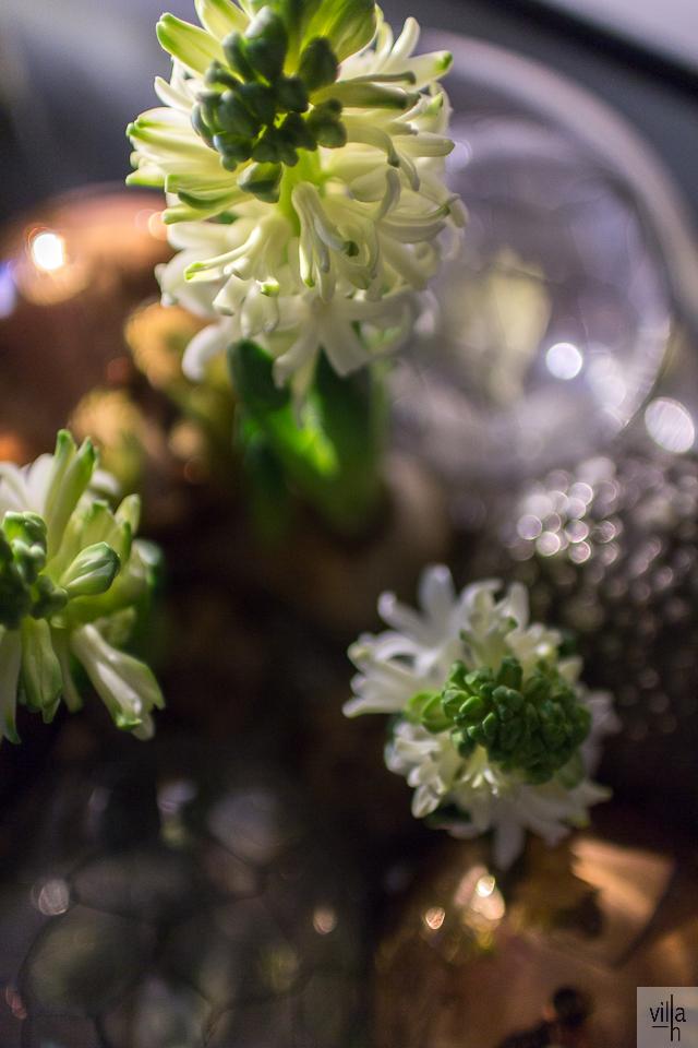 hyasintti, joulu, asetelma