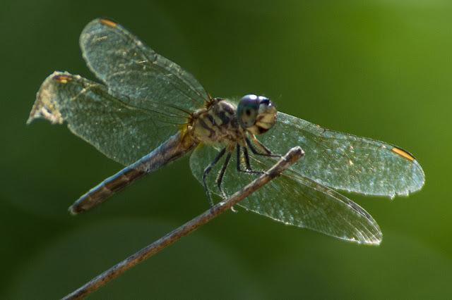 Dragonfly, Hagerman NWR