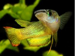 Ikan Hias Air Tawar Terindah warna kuning