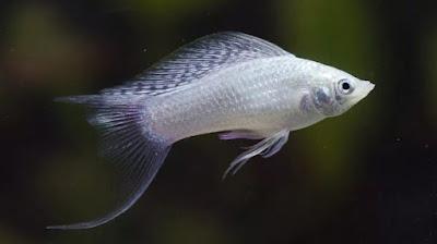 Jenis Jenis Ikan Molly