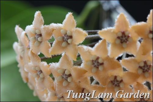 cẩm cù, hoa cẩm cù, hoya fratern, cẩm cù lông, hoa treo, hoa treo ban công, hoa leo
