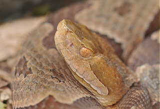 Our Herp Class: Venomous Snakes in Ohio?