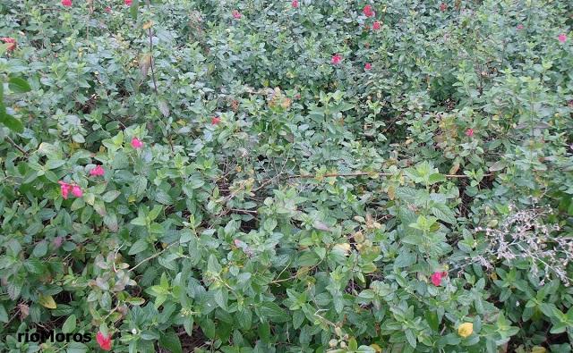 SALVIA ROSA Salvia microphylla
